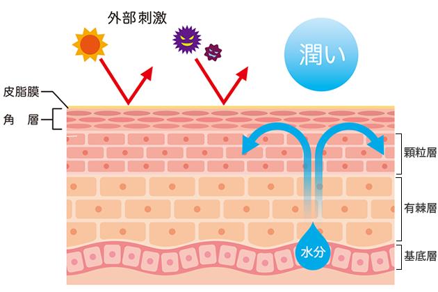 表皮と角層の構造