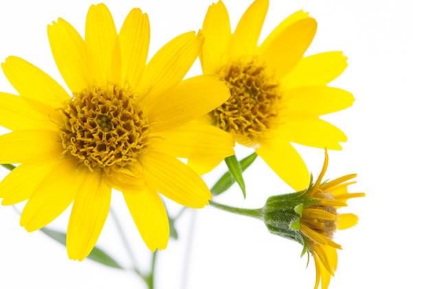アルニカの花